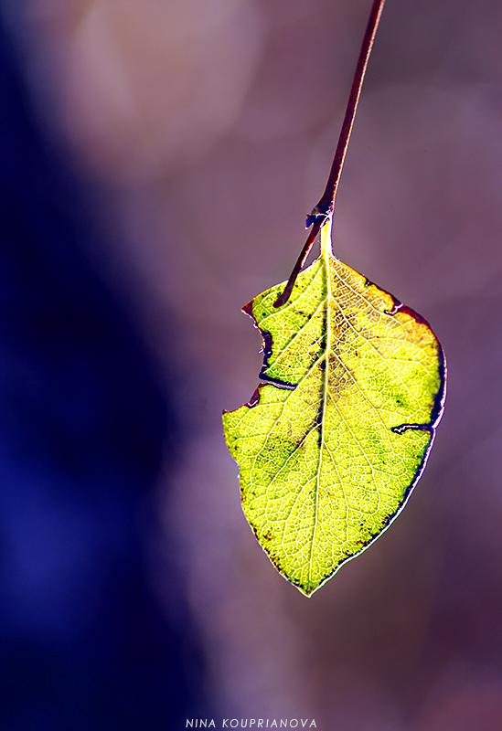 aspen leaf in the sun 800 px url.jpg