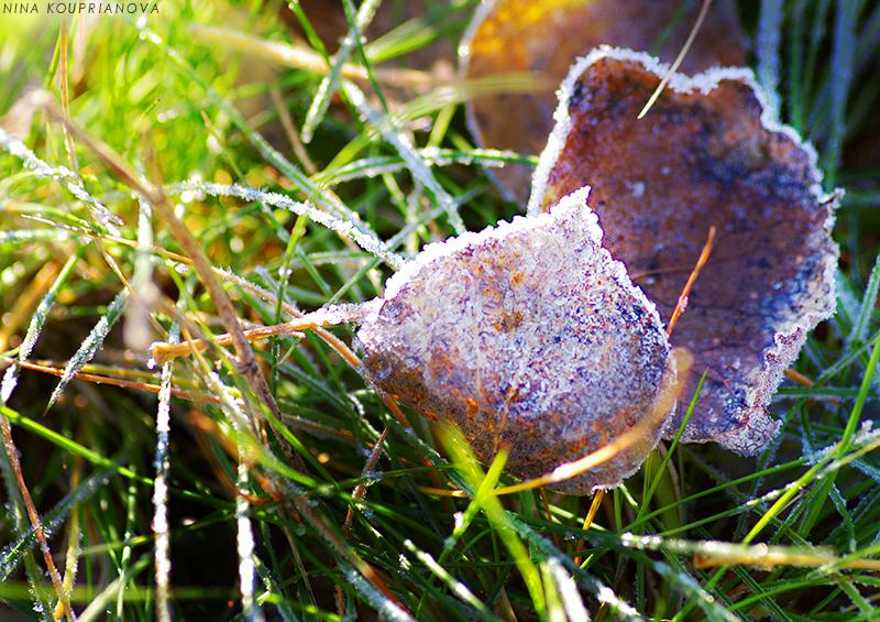 aspen leaves in frost 800 px url.jpg