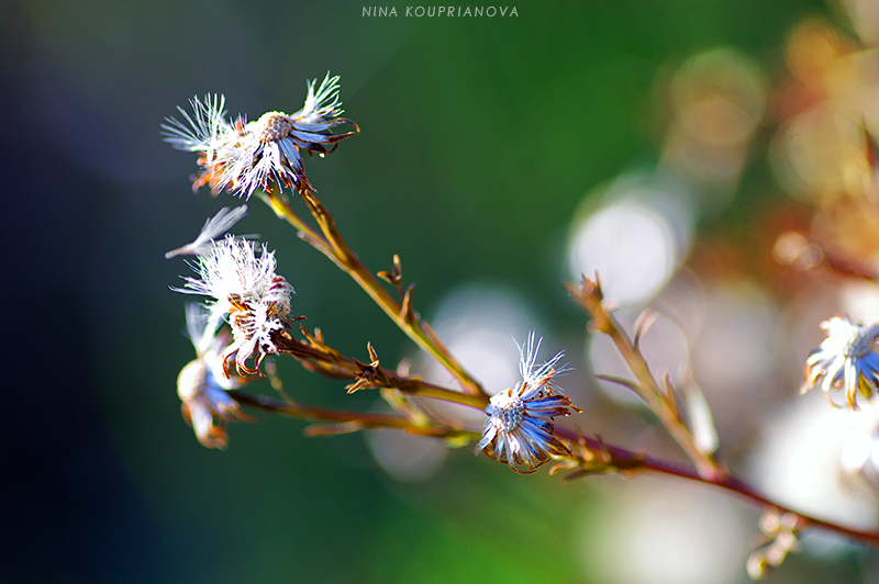 white weeds in sunlight 800 px url.jpg