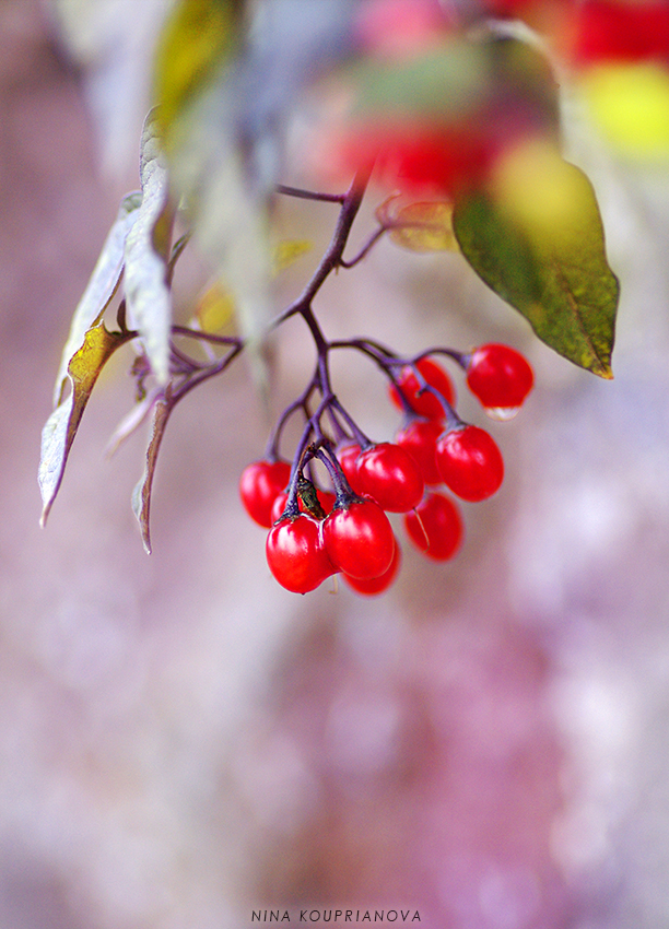 red berries 1 cropped 850 px url.jpg