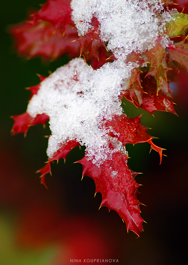 red leaves with snow 1 850 px url.jpg