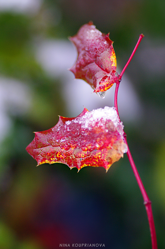 red leaves with snow 2 850 px url.jpg