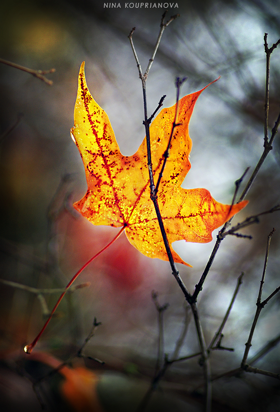 maple leaf in the wind 2 850 px url.jpg