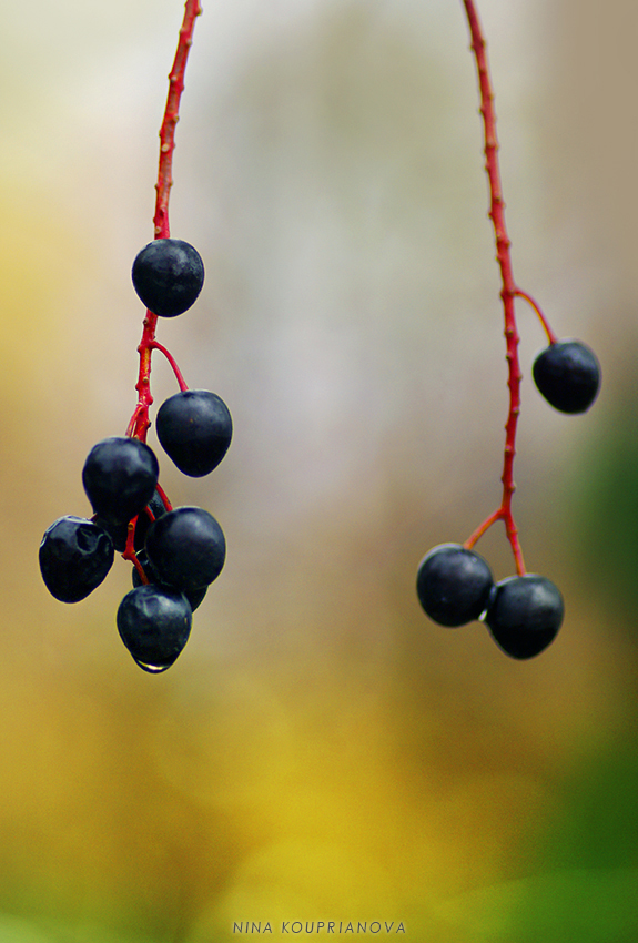 berries like earrings 2 850 px url.jpg