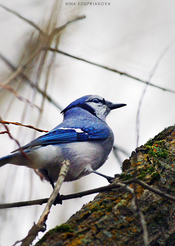 bluejay 1 vertical 850 px url.jpg