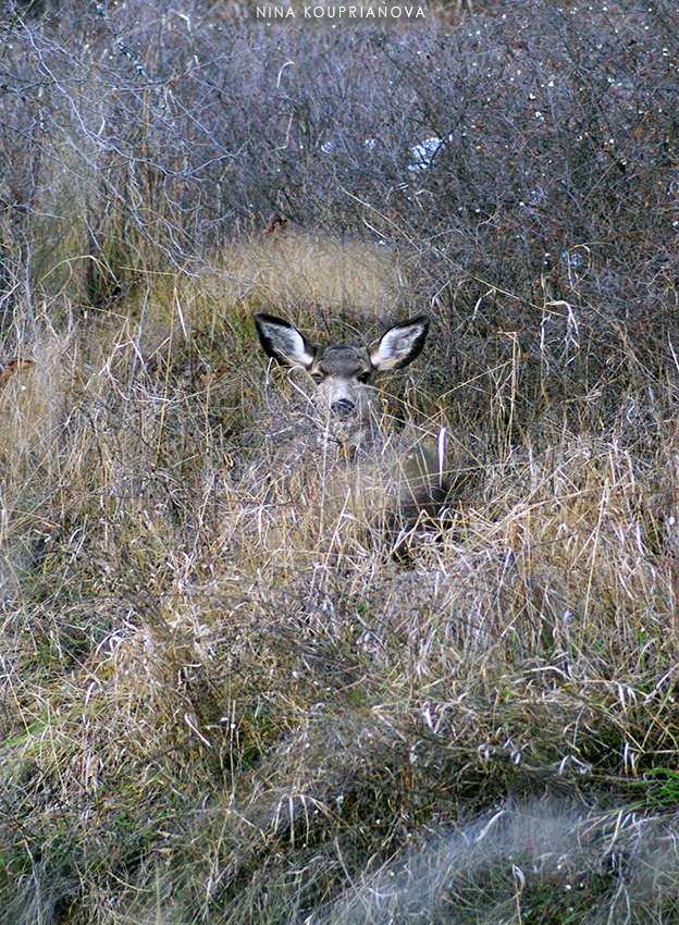 mule deer in bushes 1 850 px url.jpg