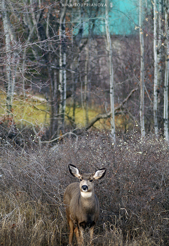 mule deer in bushes 2 850 px url.jpg