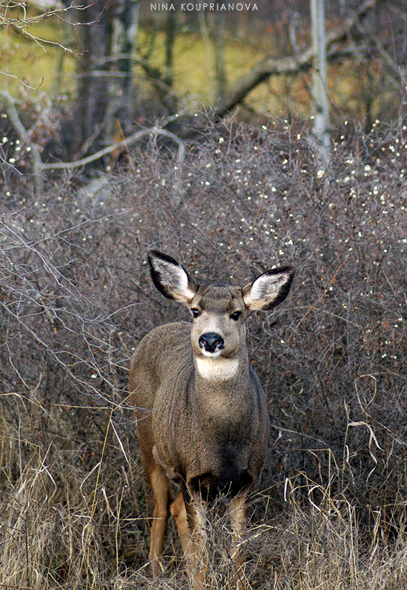 mule deer in bushes 2 closeup 850 px url.jpg