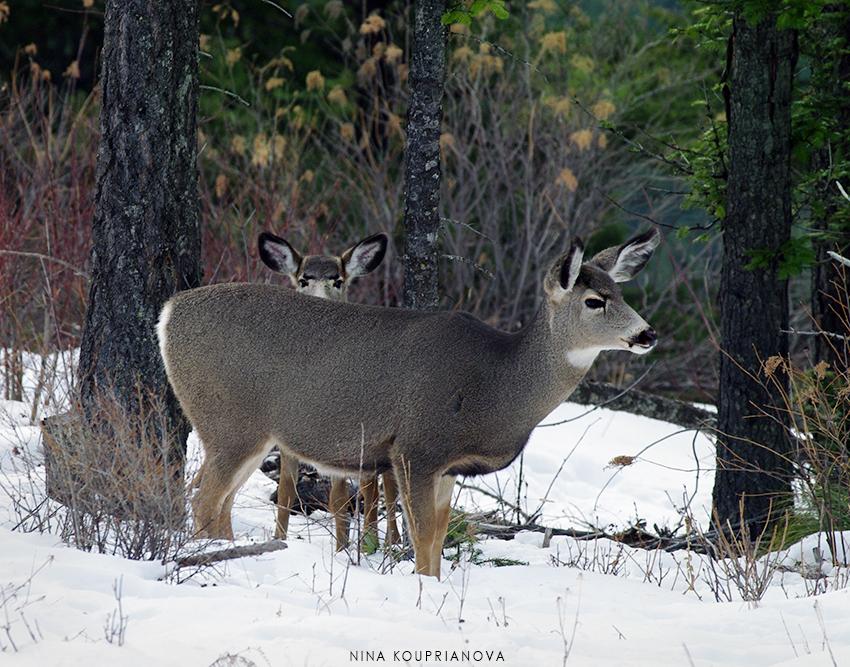 mule deer snow 2 850 px url.jpg