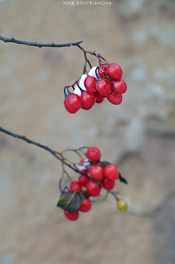 berries in snow 2 850 px url.jpg