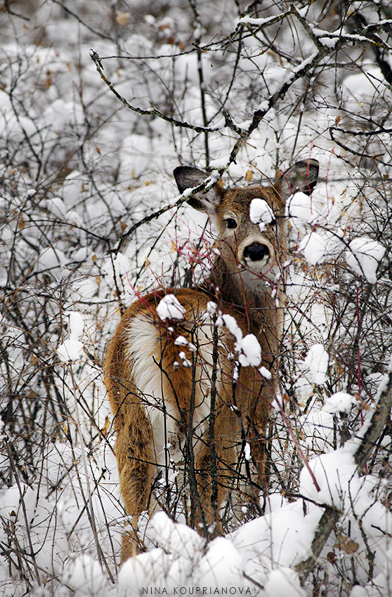 baby deer in snow 850 px url.jpg