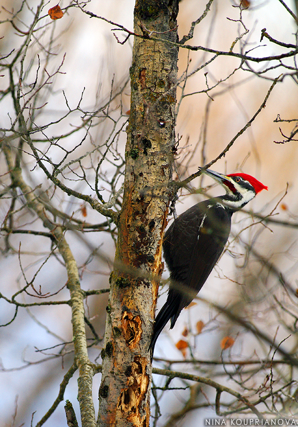 pileated woodpecker 3 850 px url.jpg