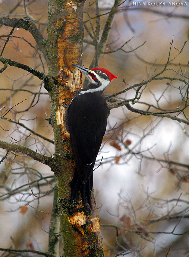 pileated woodpecker 2 850 px url.jpg