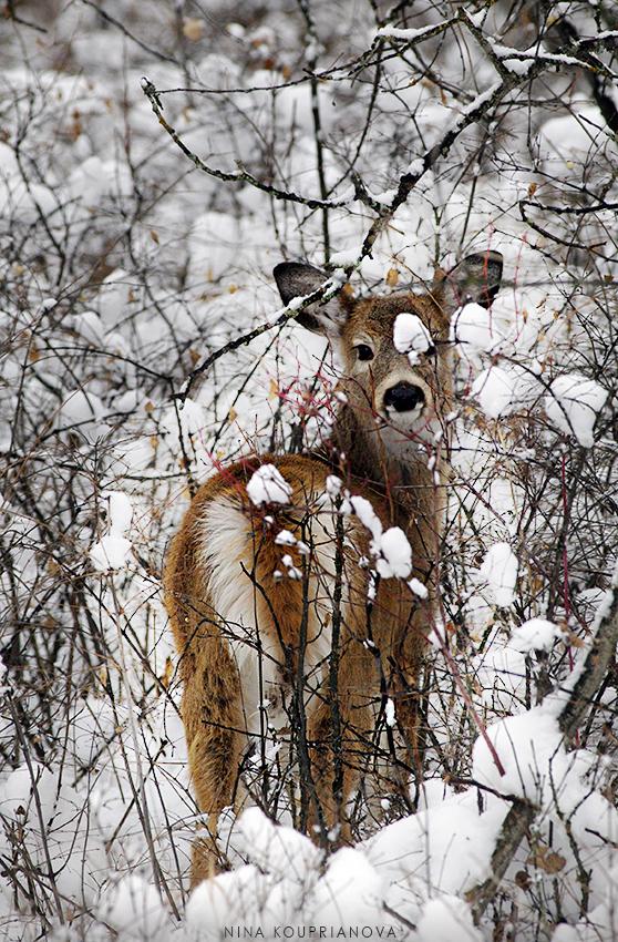 baby deer in snow vertical v2 850 px url.jpg