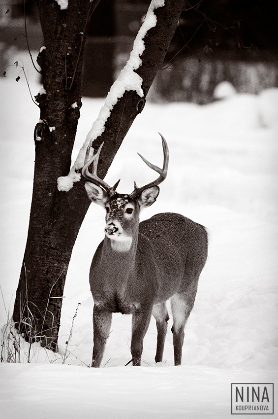 stag in snow duo 850 px url.jpg