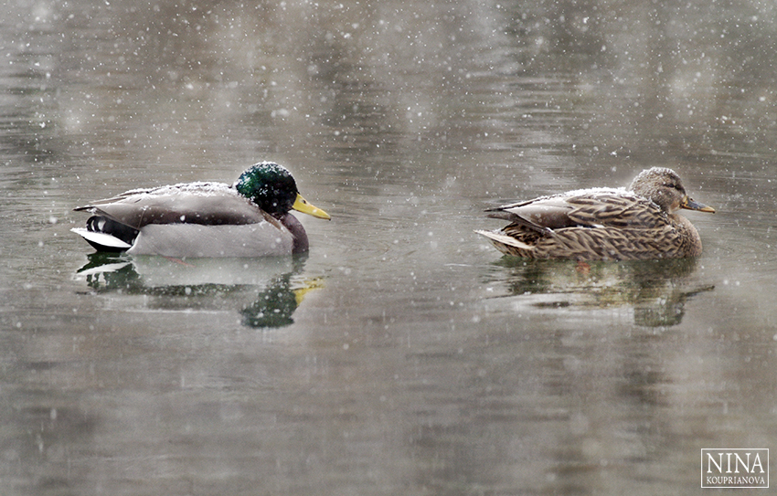 ducks in snow 3 850 px url.jpg