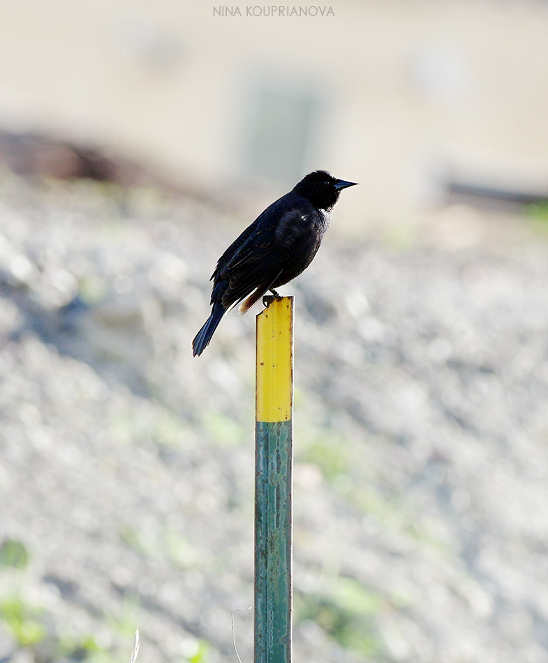 black bird on pole 2 950 px url.jpg