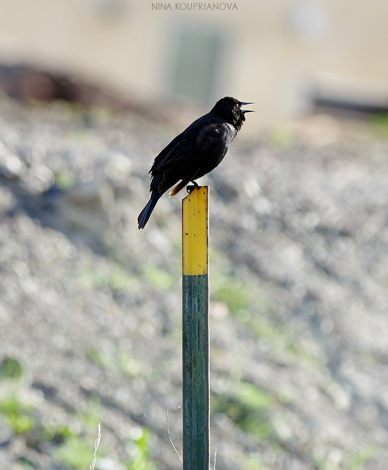 black bird on pole 1 950 px url.jpg