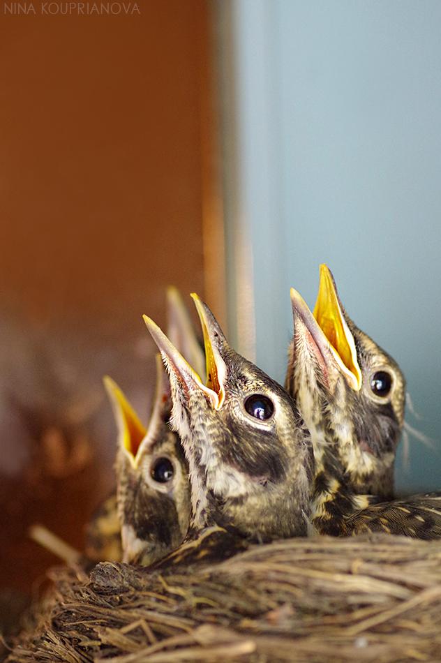 robin babies screaming 950 px url.jpg