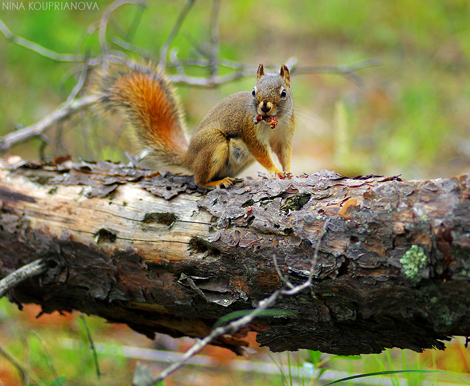 squirrel with mushroom 1 950 px url.jpg