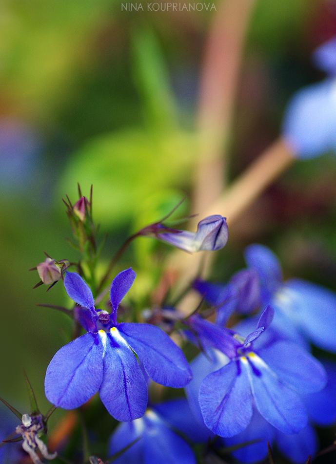 blue flowers 950 px url.jpg