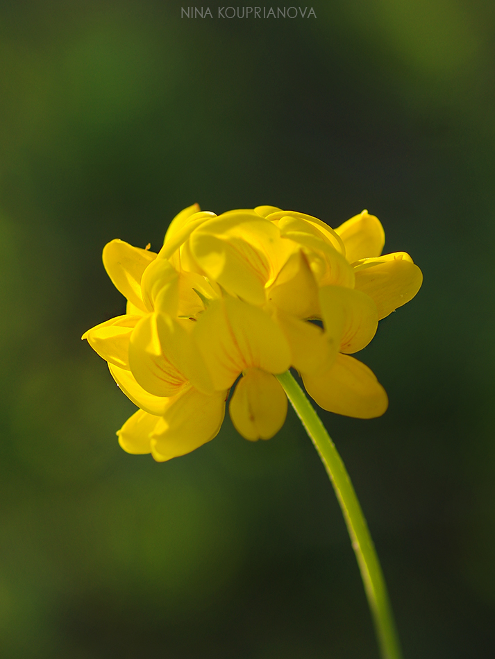 yellow flowers 950 px url.jpg