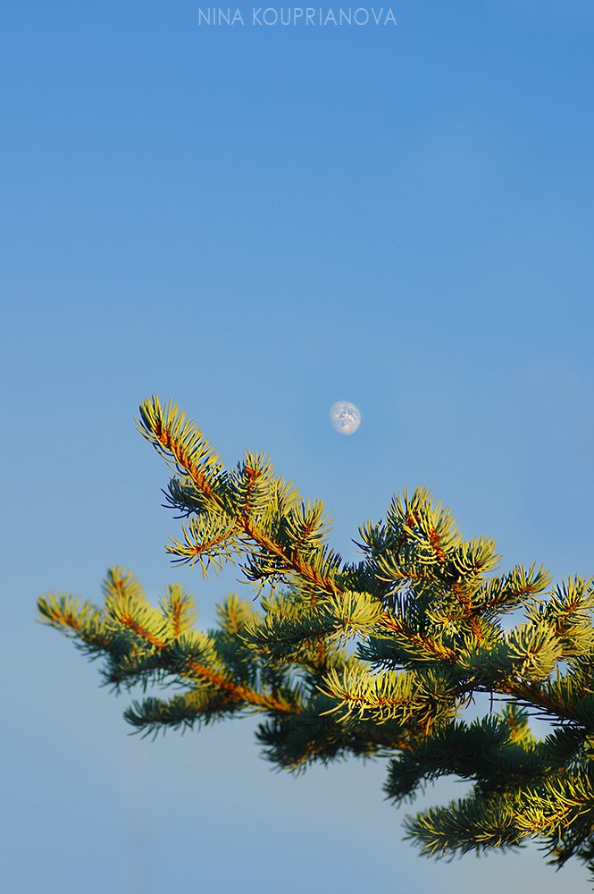 fir and moon 1000 px.jpg