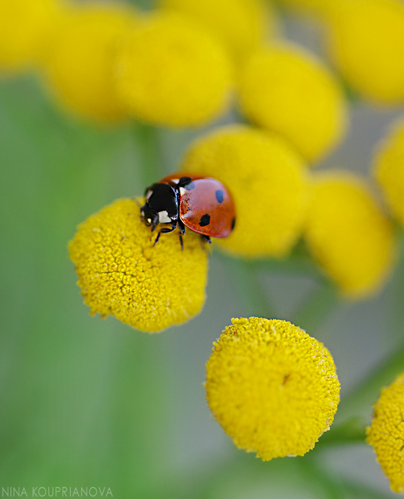lady bug on yellow 1 1000 px.jpg