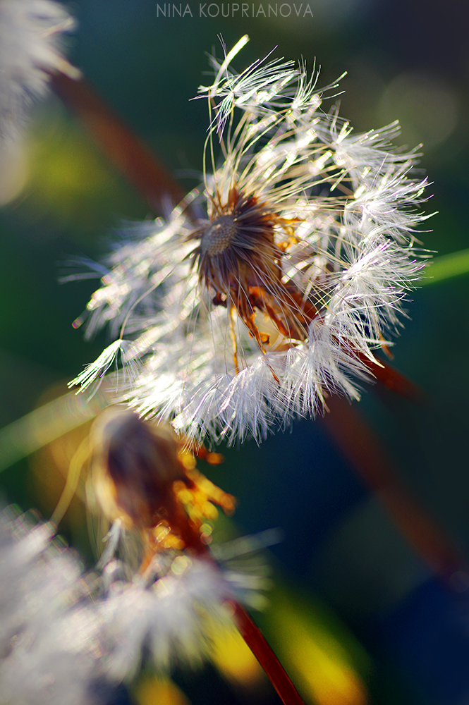 dandelion golden hour 2 1000 px.jpg