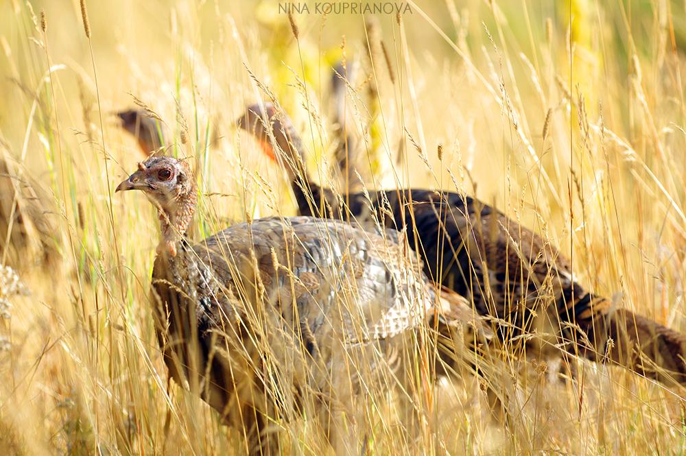 turkeys 5 1000 px url.jpg