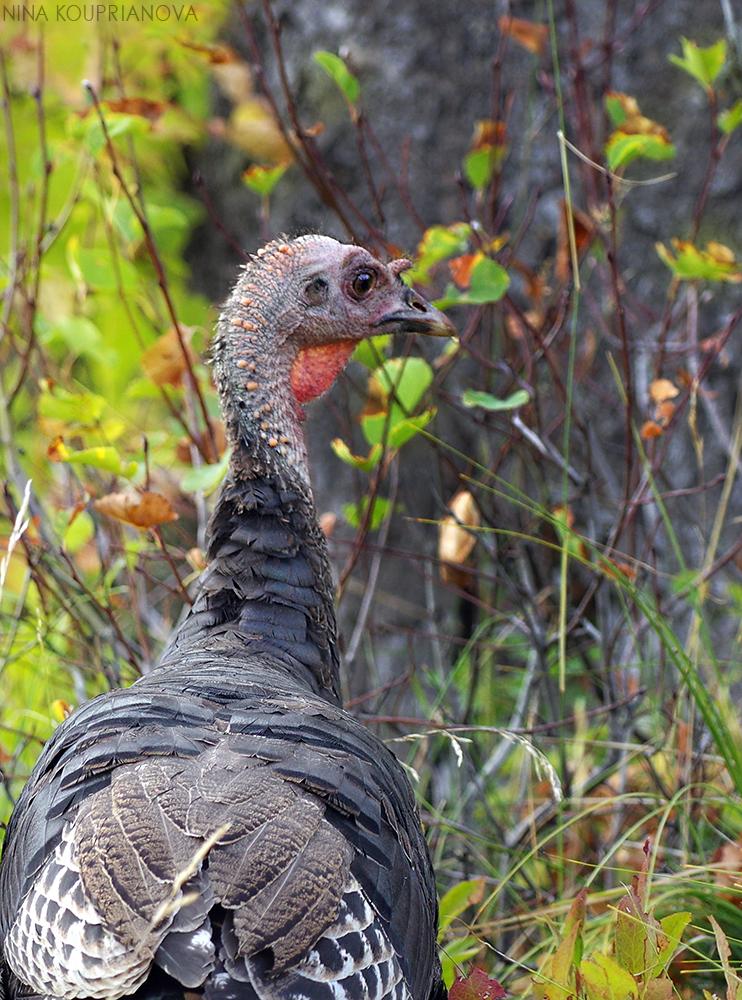 turkeys 9 1000 px url.jpg
