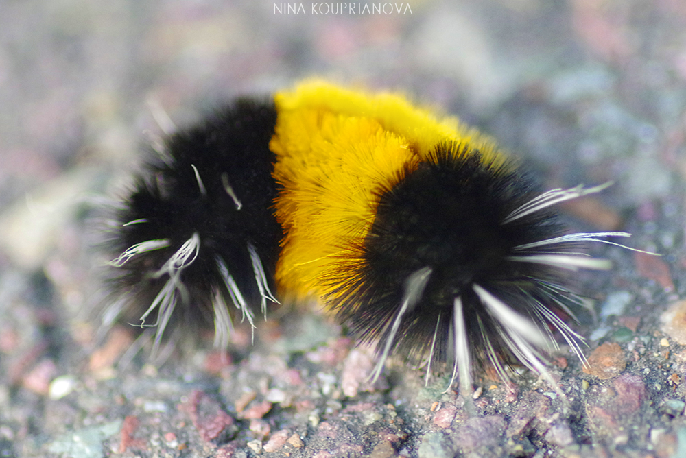 spotted tussock moth 2 1000 px.jpg