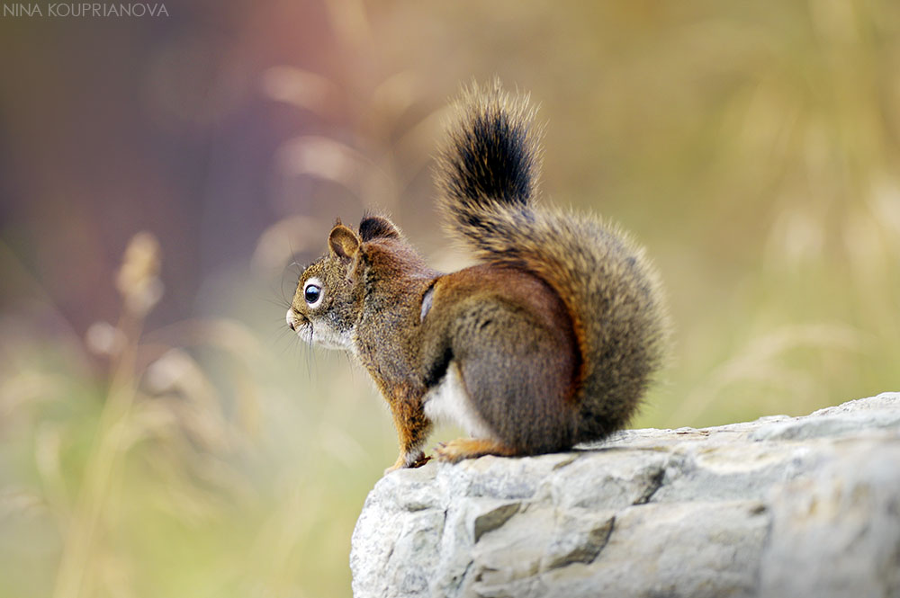squirrel autumn 4 1000 px url.jpg