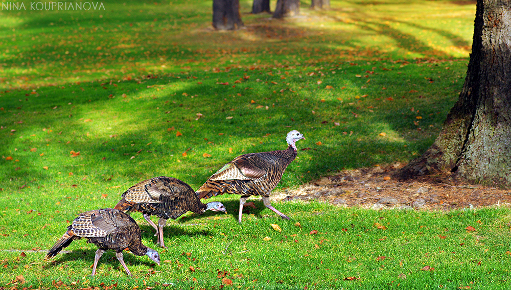 turkeys golf course 1000 px.jpg