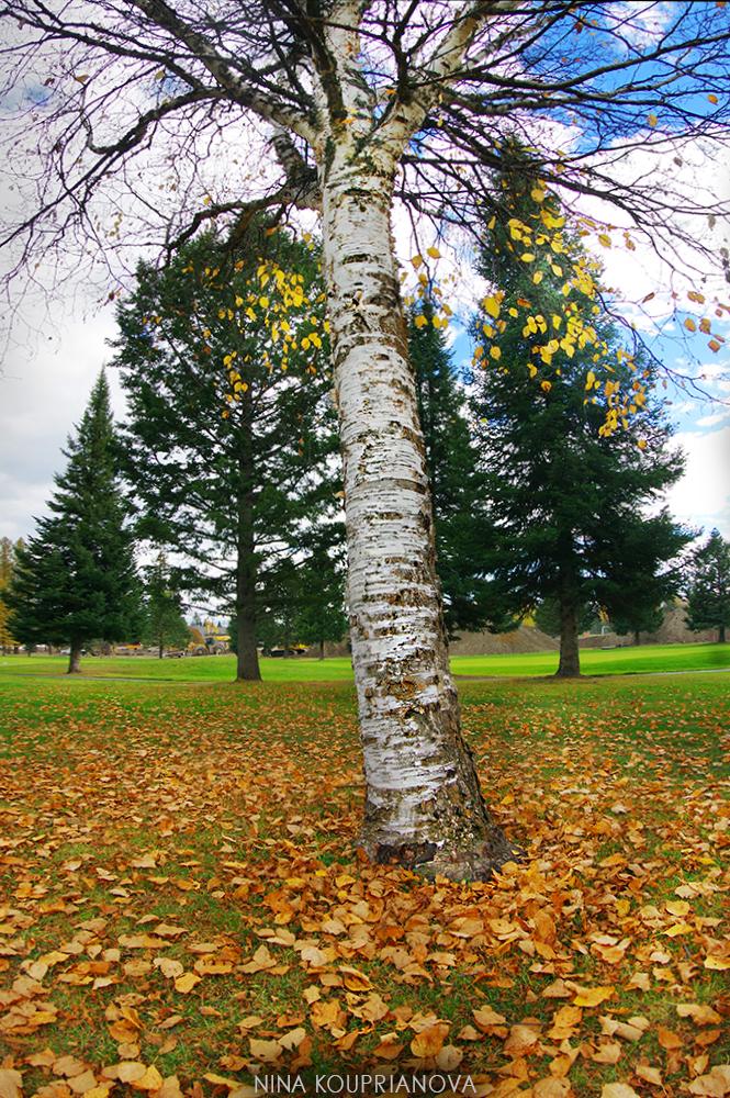 autumn birch 1000 px url.jpg