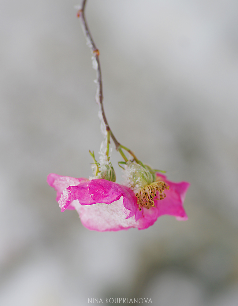 rose hip snow 1 1000 px.jpg