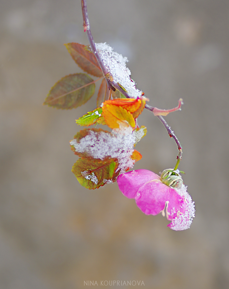 rose hip snow 4 1000 px.jpg