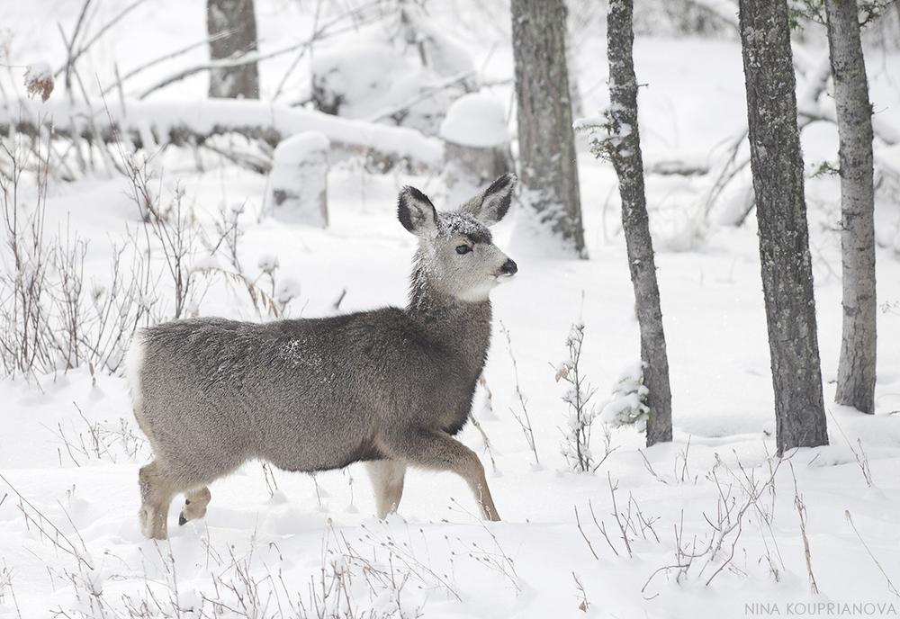 snow-covered deer 2 hr 1200 px.jpg