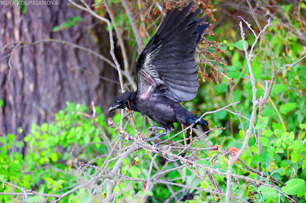 crow flight 1100 px.jpg