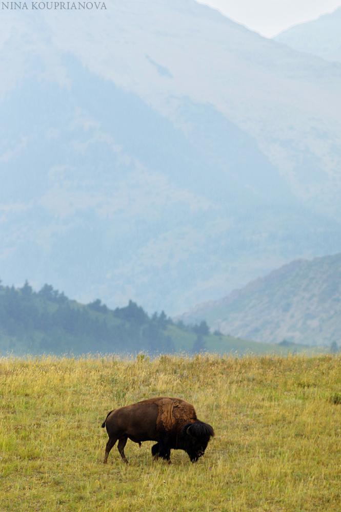 bison landscape 1000 px.jpg