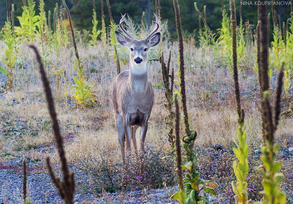 deer antlers october 5 cropped v2 1100 px.jpg