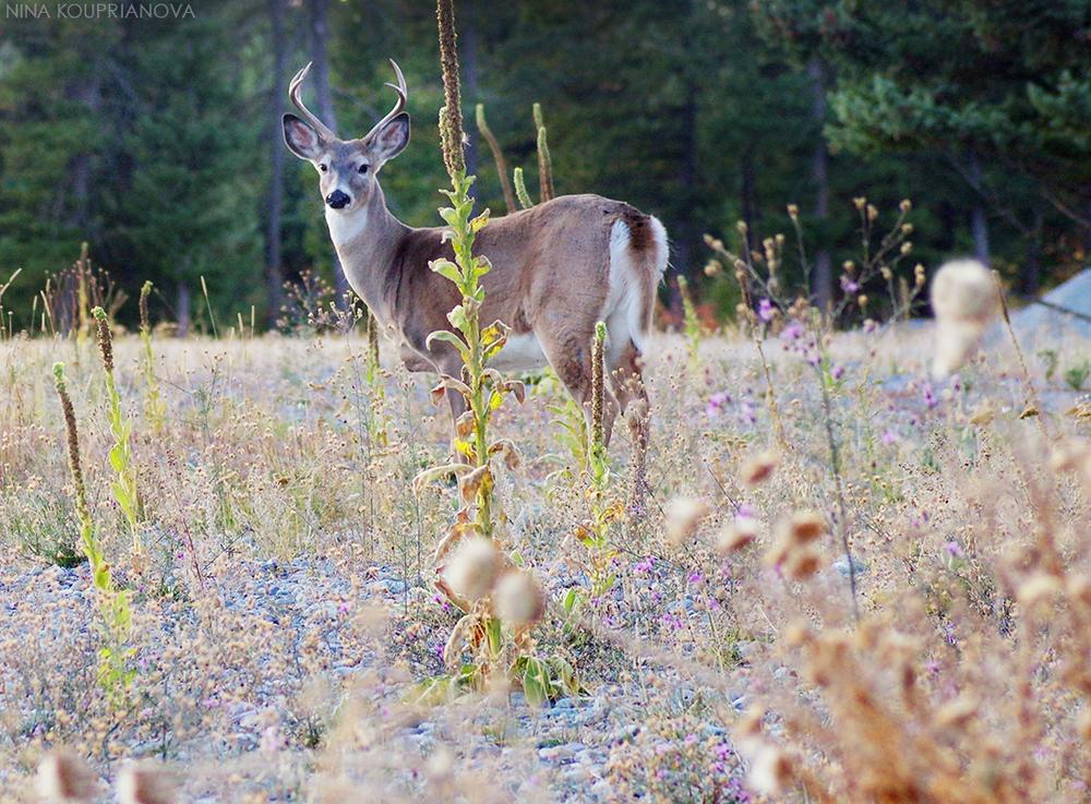 deer antlers october 6 1100 px.jpg