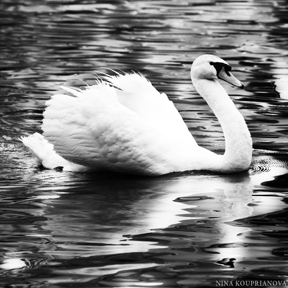 swan moscow square 1000 px.jpg