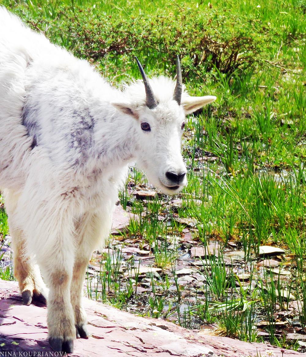 glacier goat 2016 a cropped 2 1500 px.jpg