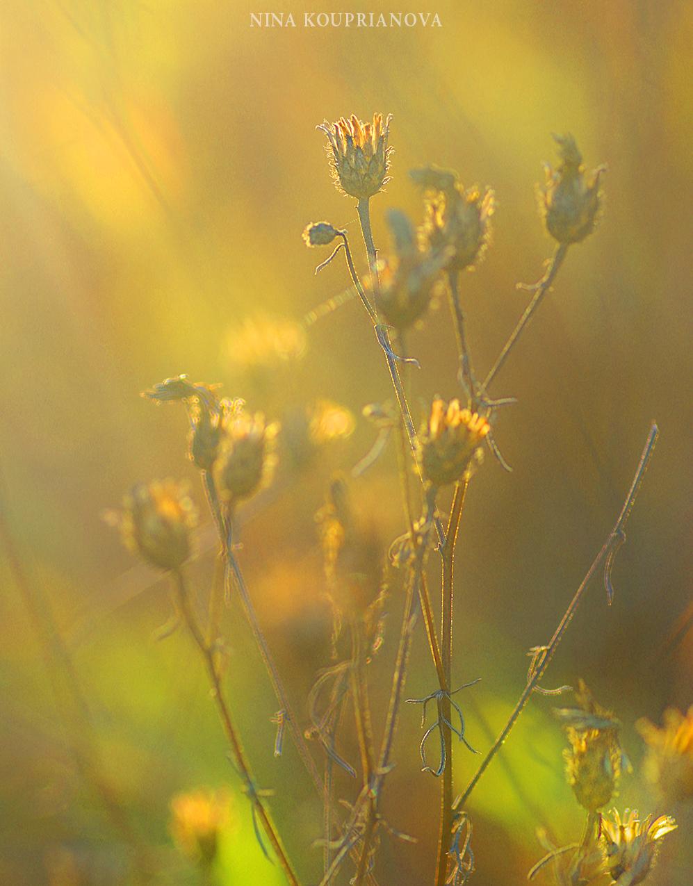 weeds golden hour 1500 px.jpg