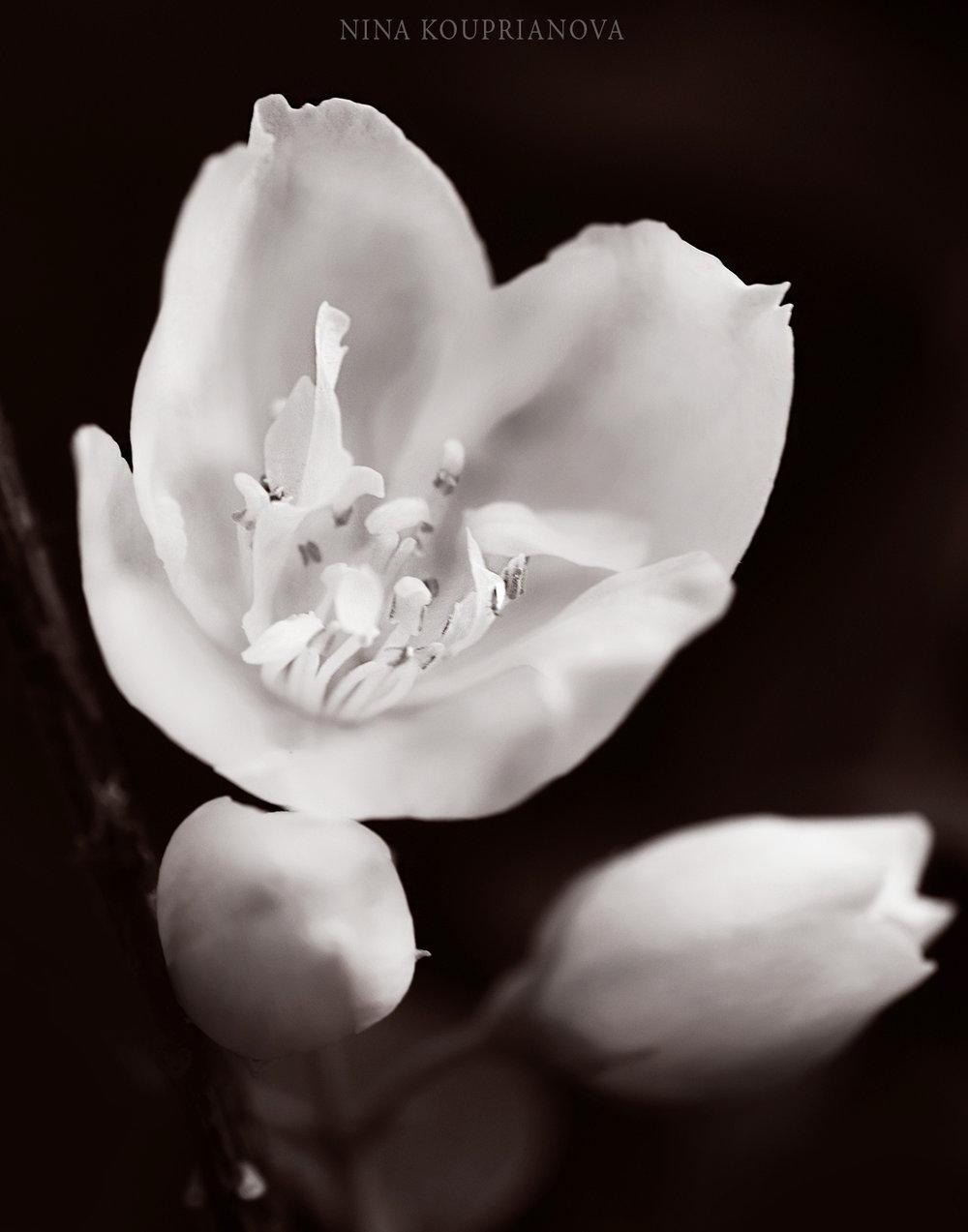 white flower sepia 1500 px.jpg