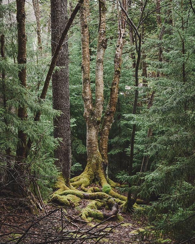 👽 Alien tree. The photo is taken in Blackwater Falls State Park, West Virginia. #treemagic