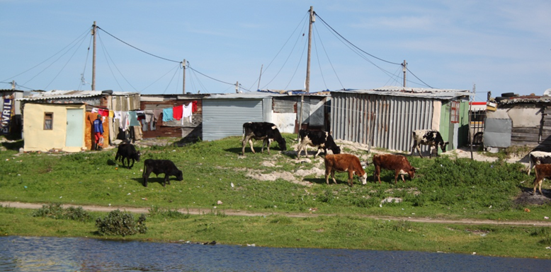 A farmer tends his cattle in what little space remains between a Cape Town township and a river