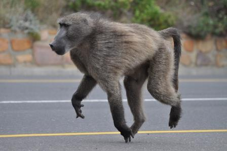 Baboon shepherds with paint ball guns — Too Much Too Many