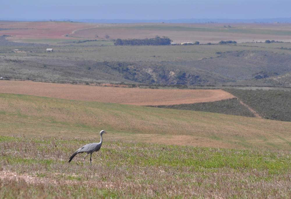 A blue crane surveys the crops